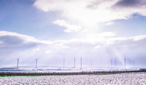 Landschaft mit schneeweissen Baumwollfeldern